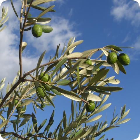 img_olive-oil_480x480